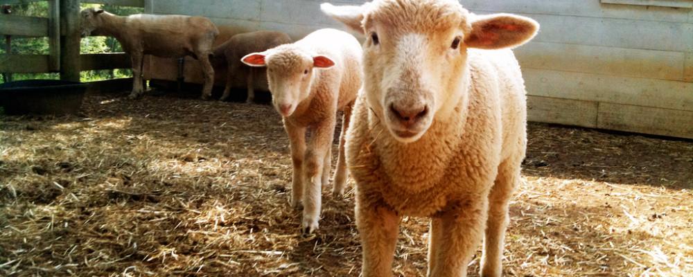 Series On Wool What Is Merino Wool